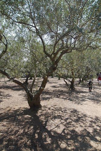 oliveki.jpg